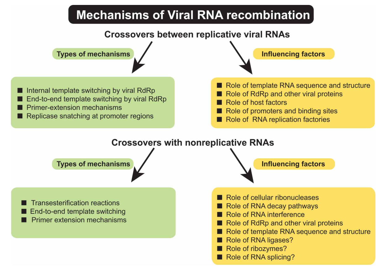 genetic re bination in plant infecting messenger sense rna viruses Types of Structure of RNA genetic re bination in plant infecting messenger sense rna viruses overview and research perspectives semantic scholar