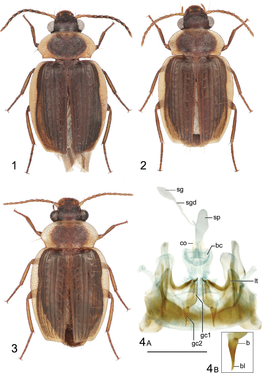 Hybopteroides, a new genus in the Cryptobatida group of