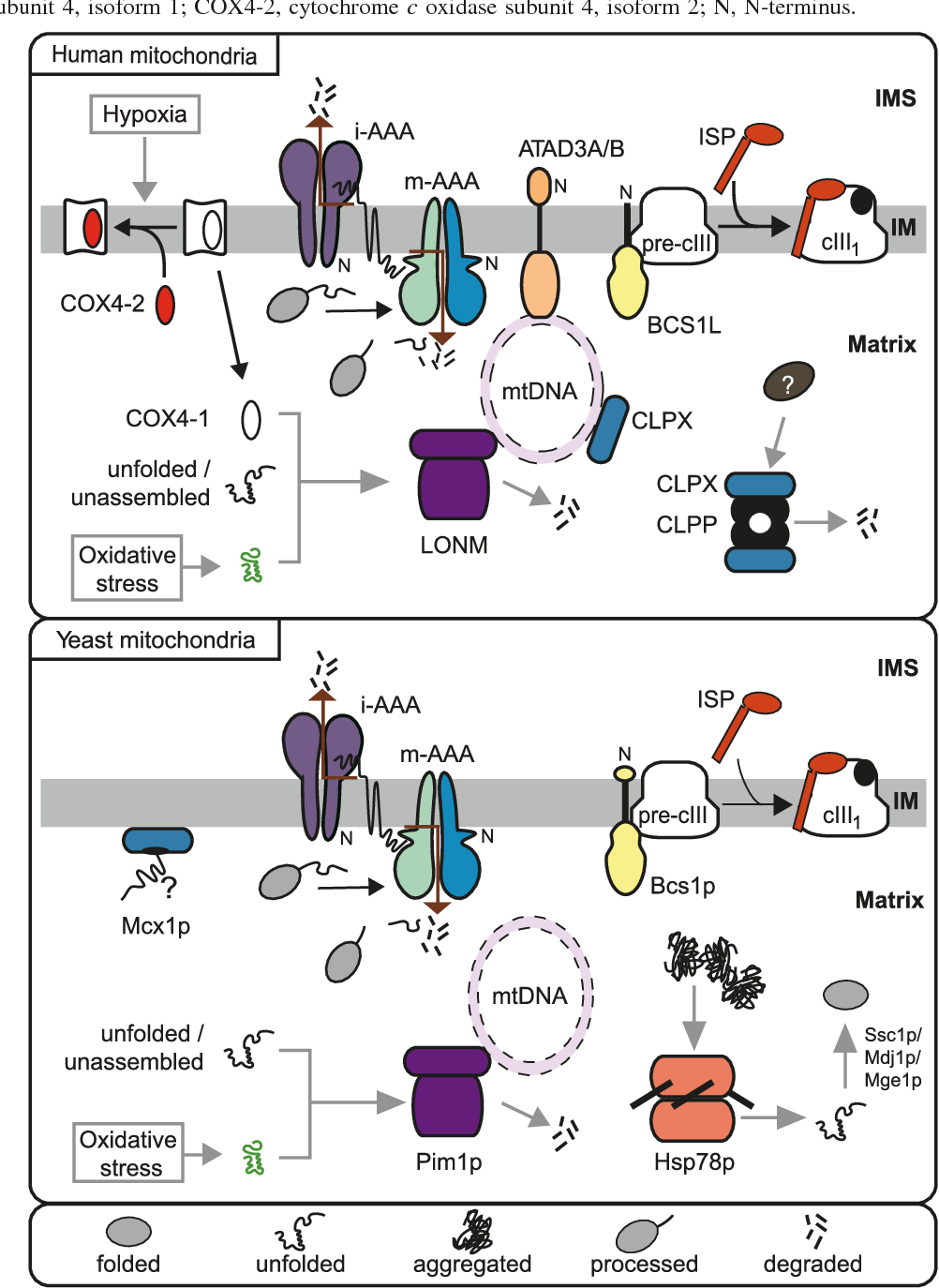 The functions of mitochondria: diverse and amazing 43