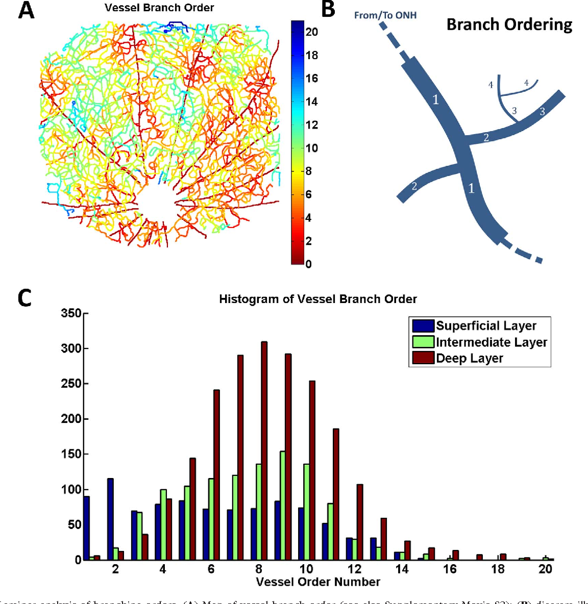 Mapping the 3D Connectivity of the Rat Inner Retinal Vascular ...