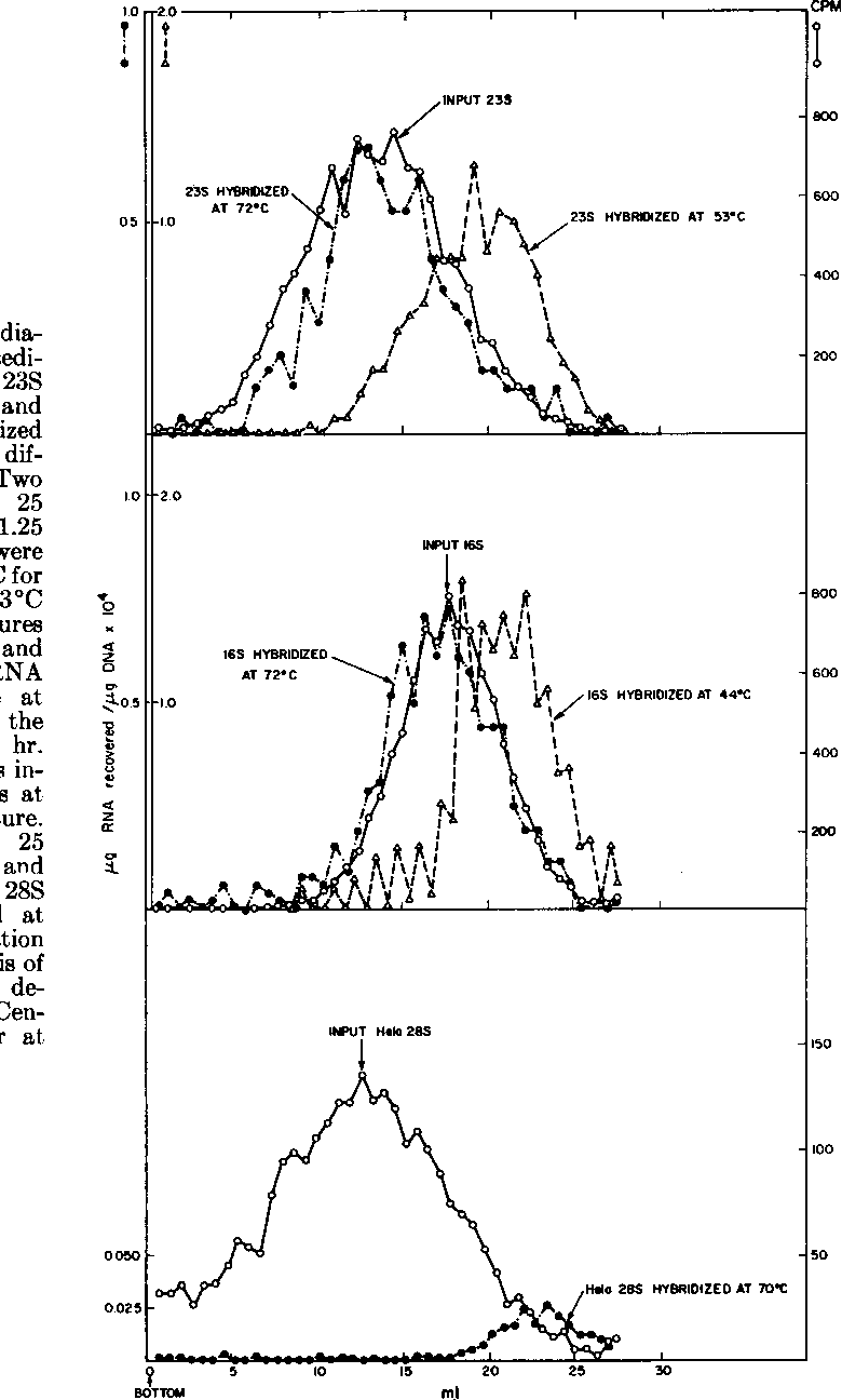 Figure 4 from Recognition of ribosomal RNA sites in DNA  I