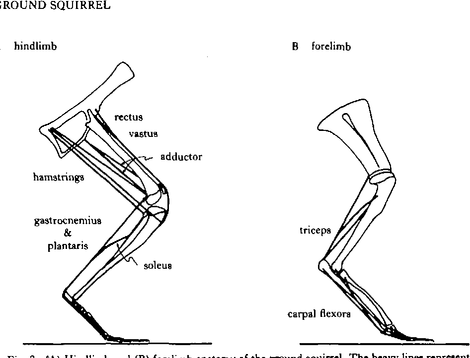 Locomotory Stresses In The Limb Bones Of Two Small Mammals The