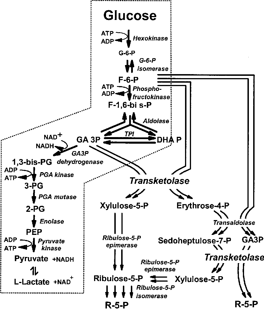 xylulose kinase - HD1548×1800