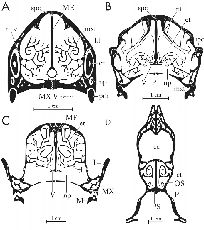 Structure Of The Nasal Region Of Non Mammalian Cynodonts And