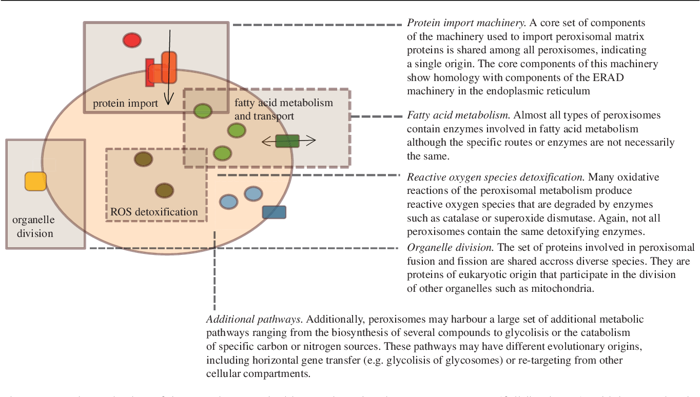 Figure 2 from Peroxisome diversity and evolution  - Semantic Scholar