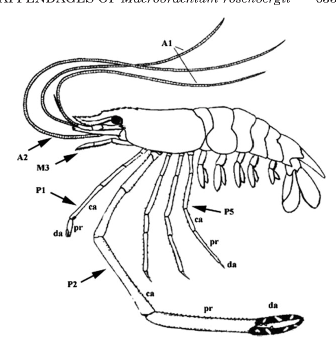 Figure 1 From Setal Morphology Of The Grooming Appendages Of