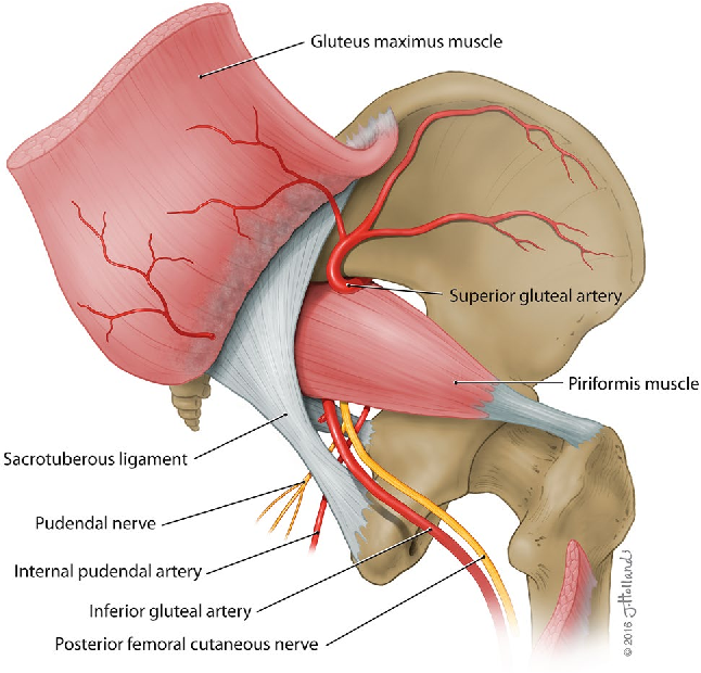 The blood supply to the sacrotuberous ligament - Semantic Scholar