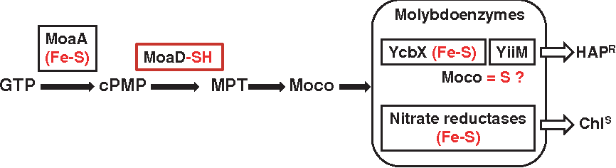 Figure 7 from TusA (YhhP) and IscS are required for molybdenum