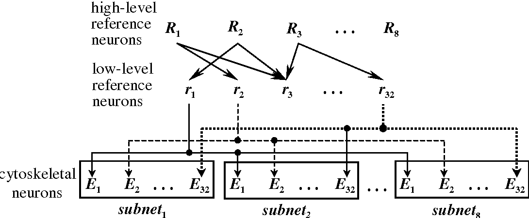 Fig. 1. Connections between reference and cytoskeletal neuron layers. Low-level reference neurons select cytoskeletal neurons in each subnet that have similar cytoskeletal structures. High-level reference neurons select different combinations of the low-level reference neurons.