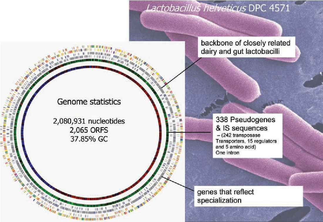 Figure 1 from Invited review: Lactobacillus helveticus--a ...