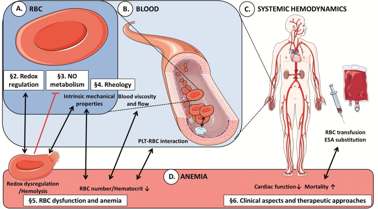 Red Blood Cell Function And Dysfunction Redox Regulation Nitric