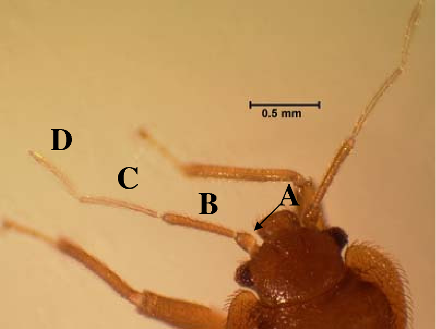 Figure 3 1 From An Evaluation Of Bed Bug Cimex Lectularius L