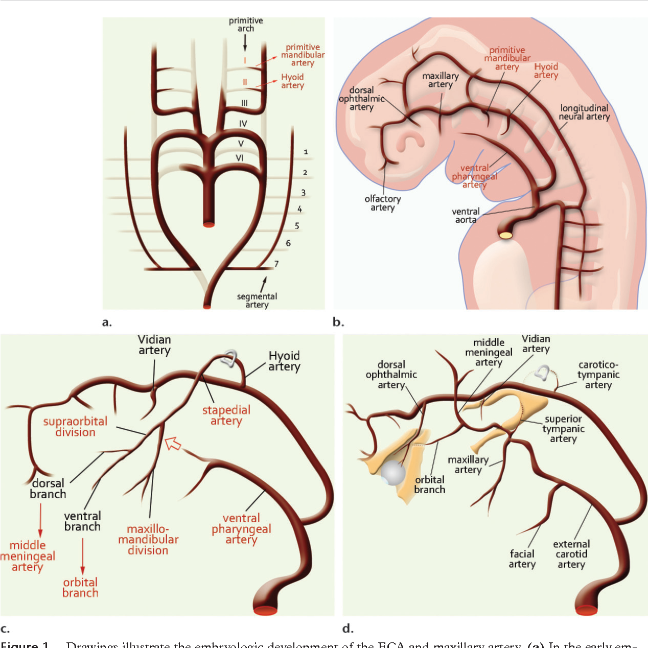 Maxillary artery: functional and imaging anatomy for safe and ...