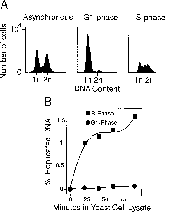 initiation of dna replication in saccharomyces cerevisiae g1 phase
