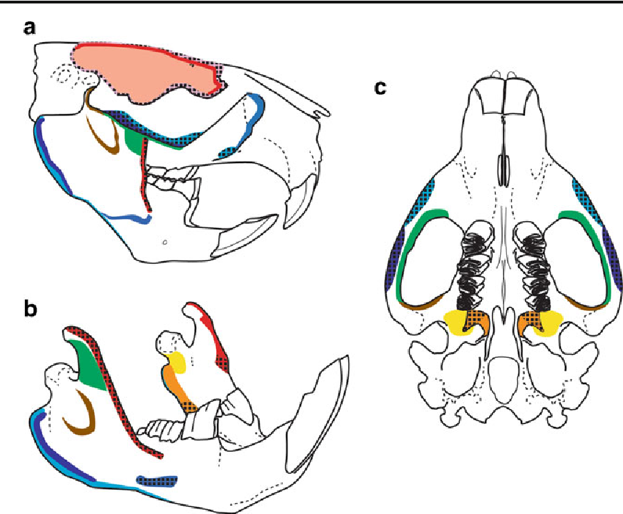 Masticatory Muscle Anatomy and Feeding Efficiency of the American ...