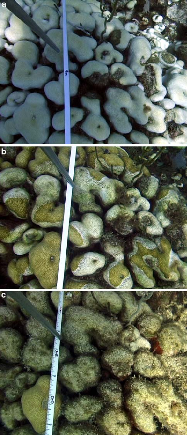 Fig. 3 Time series of identical video captures at Tektite Reef showing a bleached Montastraea annularis, September 2005, b M. annularis re-coloring and heavily affected by coral disease, November 2005, c near-total mortality of M. annularis with surviving portion still pale, January 2006