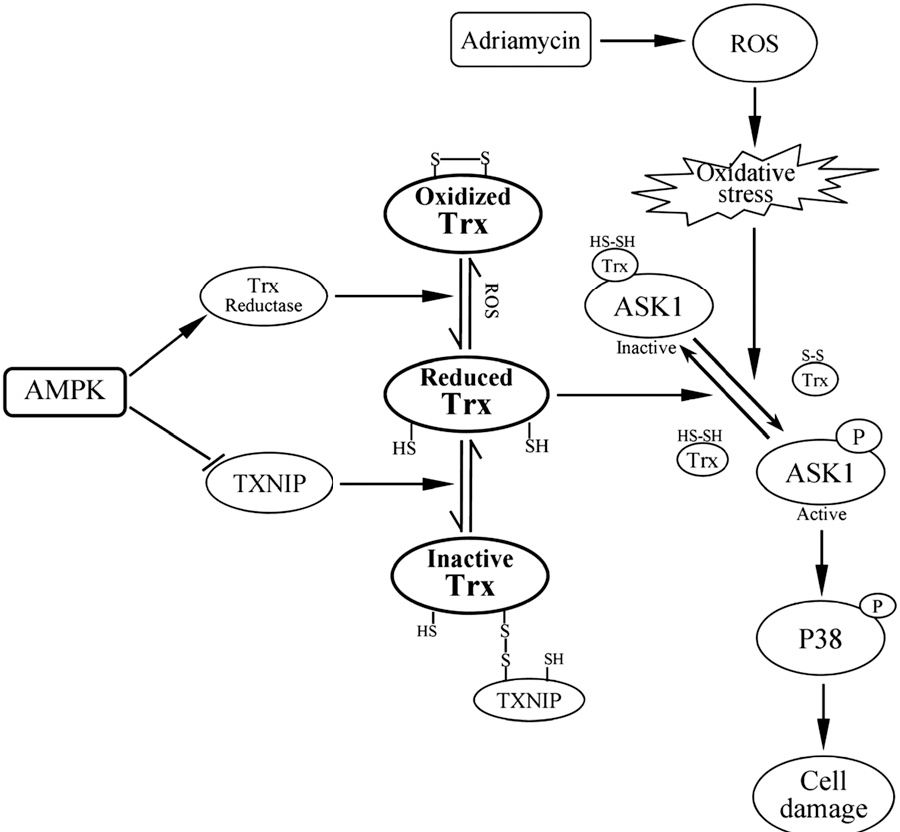 Figure 7 From 5 9 Amp Activated Protein Kinase Attenuates Adriamycin