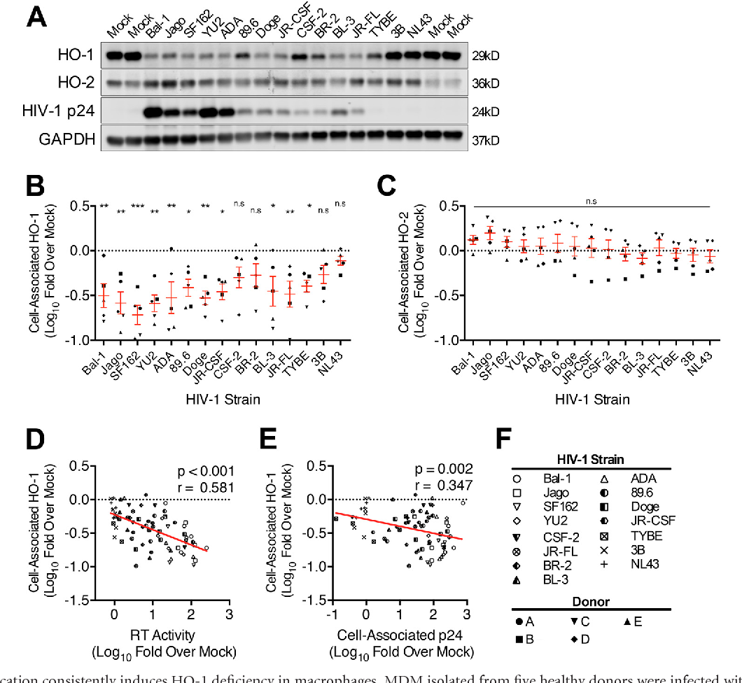 FIG 2 HIV-1 replication consistently induces HO-1 deficiency in macrophages. MDM isolated from five healthy donors were infected with each of 15 HIV-1 viral strains (inoculum of 25 ng HIV-1 p24 per 4 105 MDM). On day 12 postinfection, MDM lysates were assessed for HO-1, HO-2, HIV-1 p24, and GAPDH protein expression by Western blotting. Replication was assessed on day 12 postinfection by supernatant RT activity and by cell-associated HIV-1 p24. (A) Representative Western blot of HO-1, HO-2, HIV-1 p24, and GAPDH in HIV-MDM from one donor. (B and C) Densitometry analysis of HO-1 (B) and HO-2 (C) protein expression in HIV-MDM (all 5 donors) stratified by strain and normalized to GAPDH and presented as fold change from that for mock-MDM. HO-1 and HO-2 expression levels in mock-MDM were set to 0 on a log scale (dotted line). Error bars indicate means SEMs. (D and E) Correlation between macrophage HO-1 protein expression and supernatant RT (D) and cell-associated HIV-1 p24 (E). (F) Key for HIV strain and MDM donor symbols. Statistical comparisons to mock-MDM were made by two-way ANOVA with the Holm-Sidak post hoc test. Correlations were assessed by Pearson's correlation with the line of best fit determined by linear regression. *, P 0.05; **, P 0.01; ***, P 0.001.