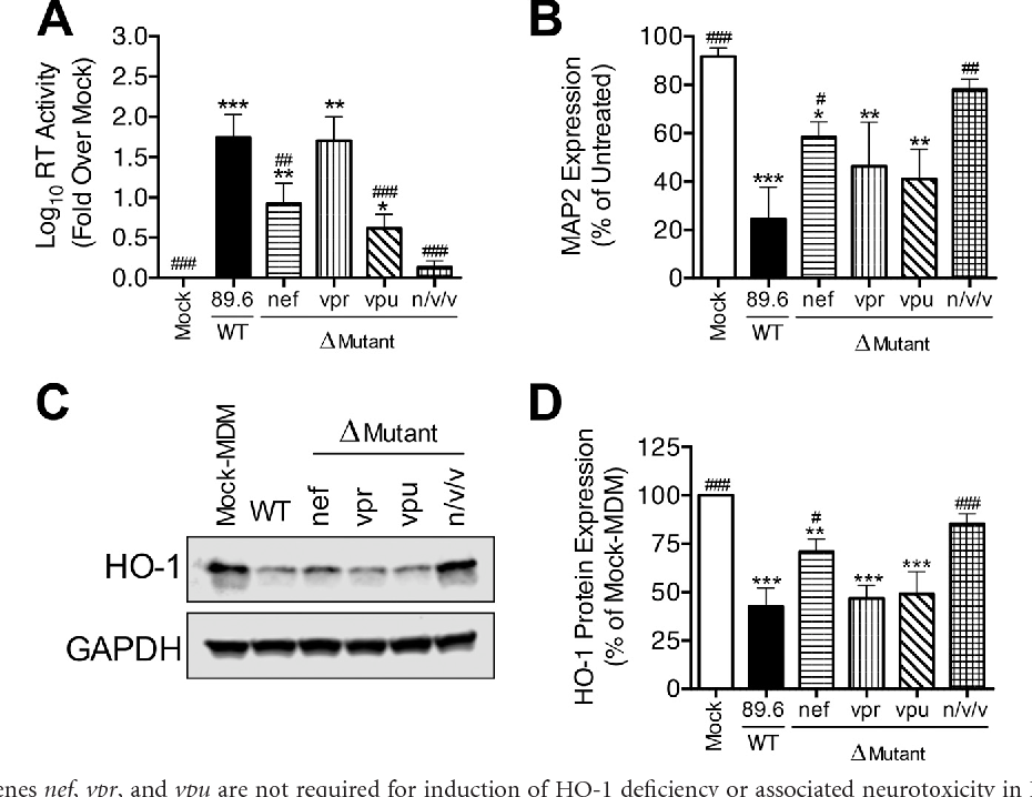 FIG 7 HIV-1 accessory genes nef, vpr, and vpu are not required for induction of HO-1 deficiency or associated neurotoxicity in HIV-MDM. MDM from 5 different donors were infected with wild-type (WT) 89.6 or mutant 89.6 lacking either the nef, vpr, or vpu gene or all three genes in combination (n/v/v). (A and B) Supernatants (day 12 postinfection) were analyzed for HIV replication (A) and supernatant neurotoxicity (B). (C and D) Representative Western blot (C) and summary densitometry (D) analysis of HO-1 expression in HIV-MDM (day 12). Errors bars indicate means SEMs (n 5). Statistical comparisons to mock-MDM (*) or WT 89.6 (#) were made by one-way ANOVA with the Holm-Sidak post hoc test. * or #, P 0.05; ** or ##, P 0.01; *** or ###, P 0.001.
