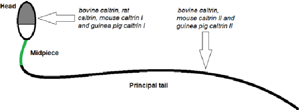 Figure 1 from structure and function of caltrin calcium transport general diagram of the sperm cell depicting the head midpiece and ccuart Images