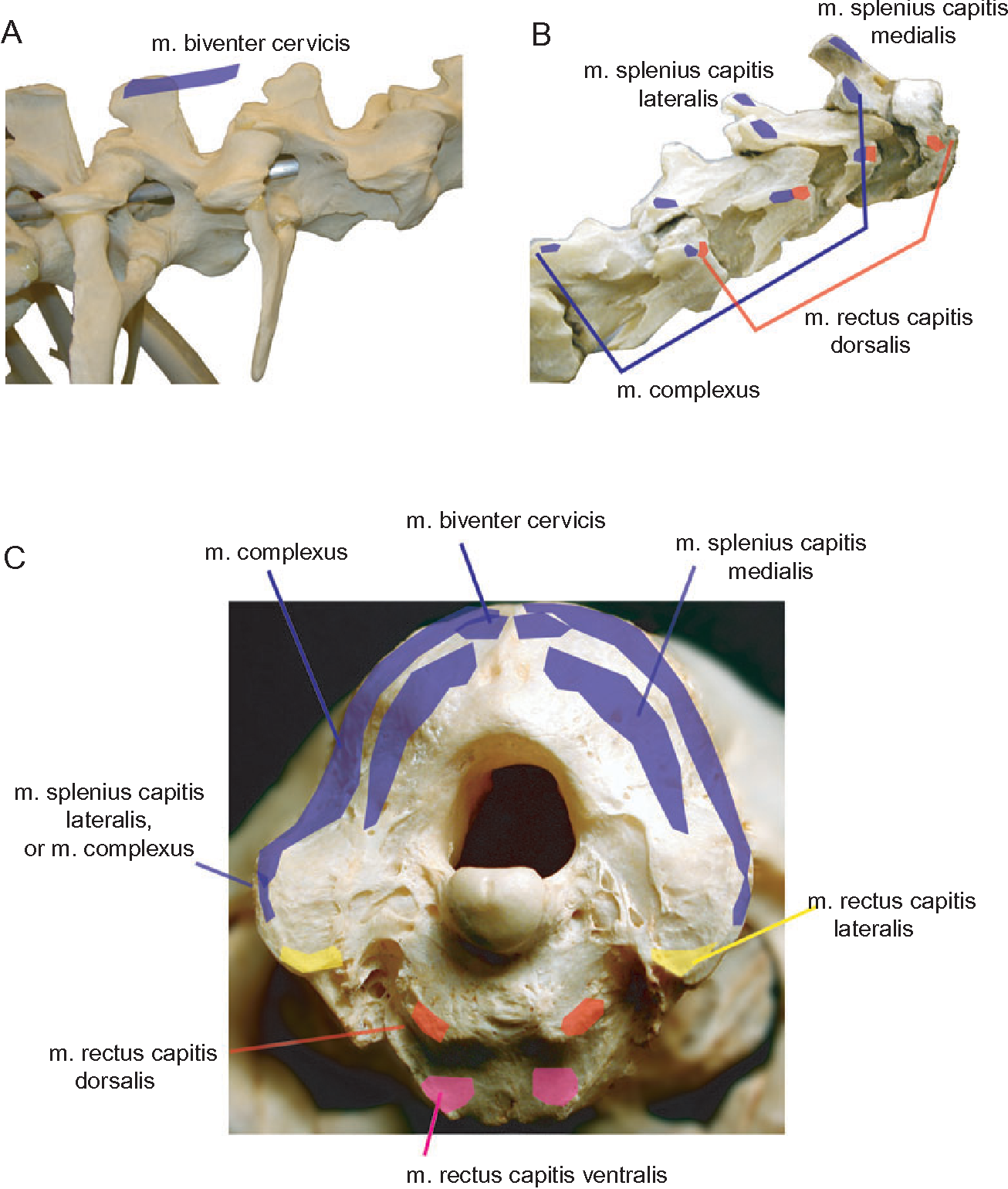 Figure 5 from Functional morphology of neck musculature in the ...