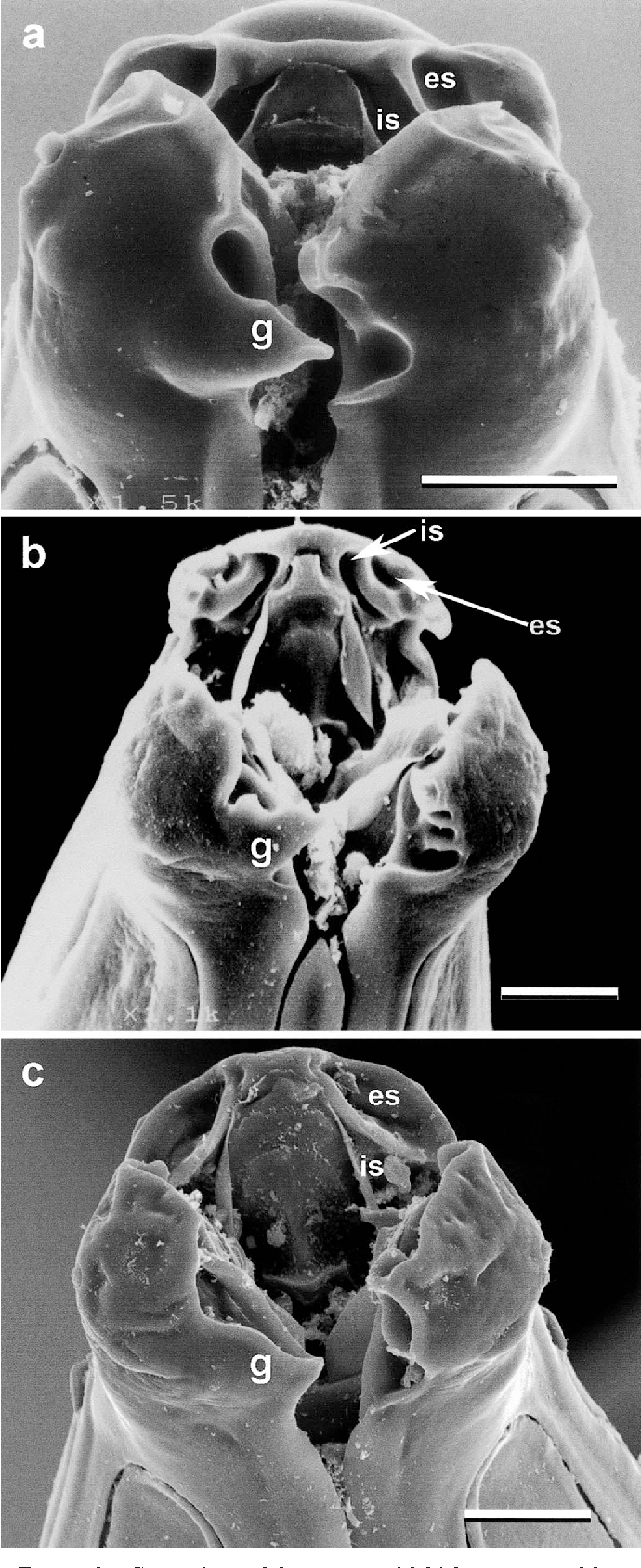 FIGURE 6. Comparison of the stoma and labial structures of 3 species of Aspidodera showing the digitiform projection of the dextroventral lip ''g''; interior, ''is''; and exterior sockets, ''es.'' Scale bar 20 m. (a) A. sogandaresi n. sp. male (b) A. fasciata male (c) A. vazi female.