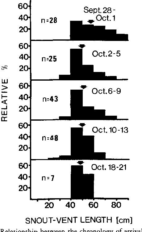 FIGURE 4. Relationship between the chronology of arrival (as relative % of the sample) at the hibernaculum and snout-vent lengths of garter snakes during 1981. Arrows indicate mean lengths.
