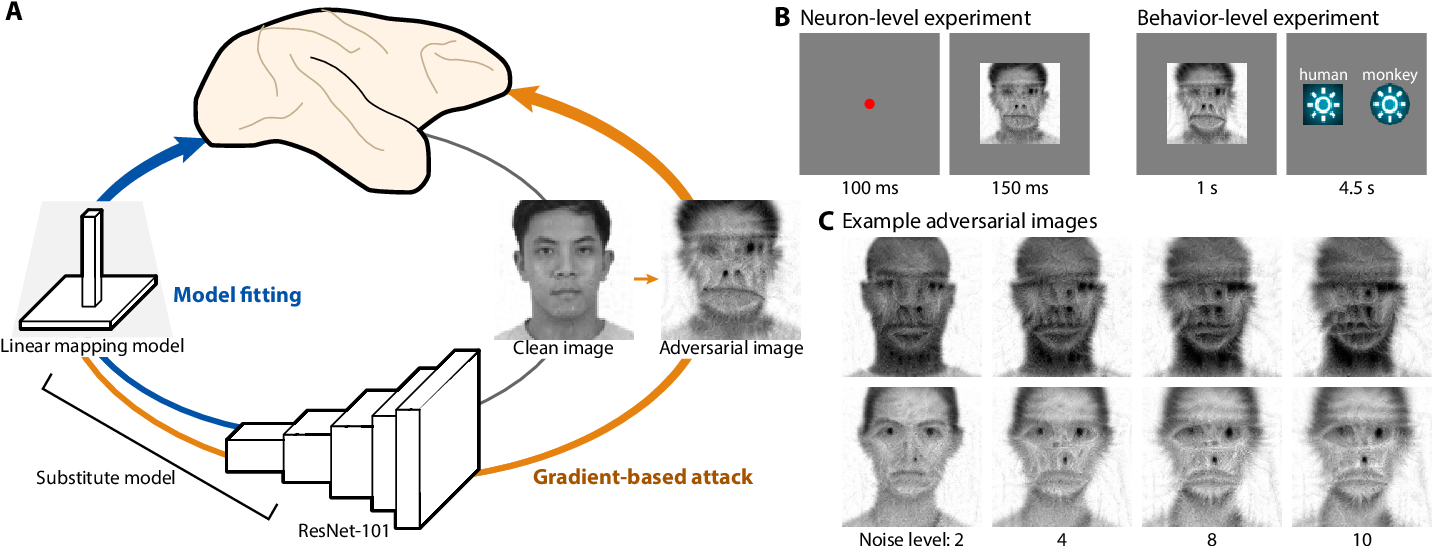 Figure 1 for Adversarial images for the primate brain