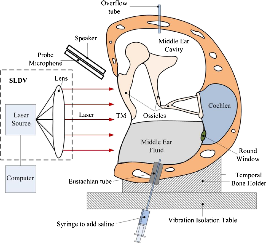Tympanic Membrane Diagram - House Wiring Diagram Symbols •