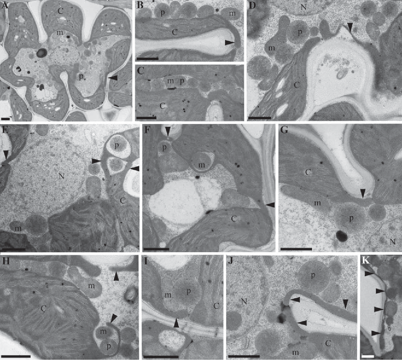 The Functional Anatomy Of Rice Leaves Implications For Refixation