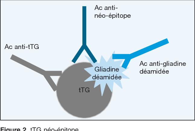 Figure 2. tTG néo-épitope.