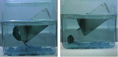 Figure 1 for Unsupervised detection of mouse behavioural anomalies using two-stream convolutional autoencoders