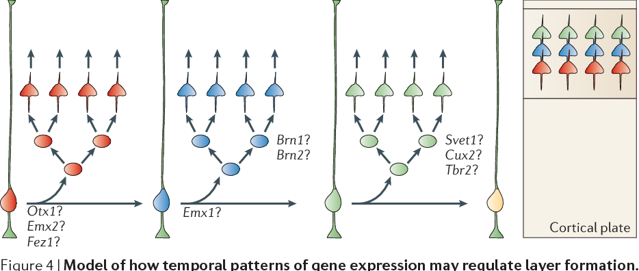 Gene Expression Patterns May Underlie >> Figure 4 From Patterns Of Neural Stem And Progenitor Cell Division
