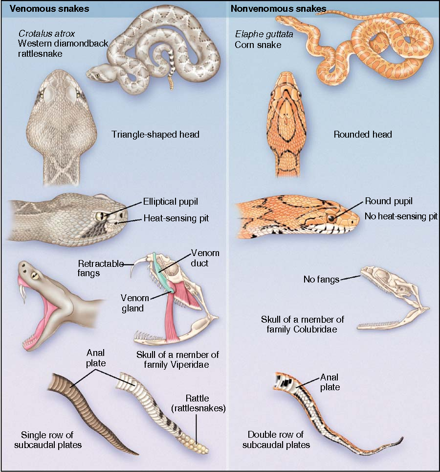 Figure 2 from North American snake envenomation: diagnosis