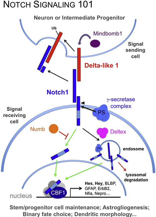 Notch In The Vertebrate Nervous System An Old Dog With New Tricks