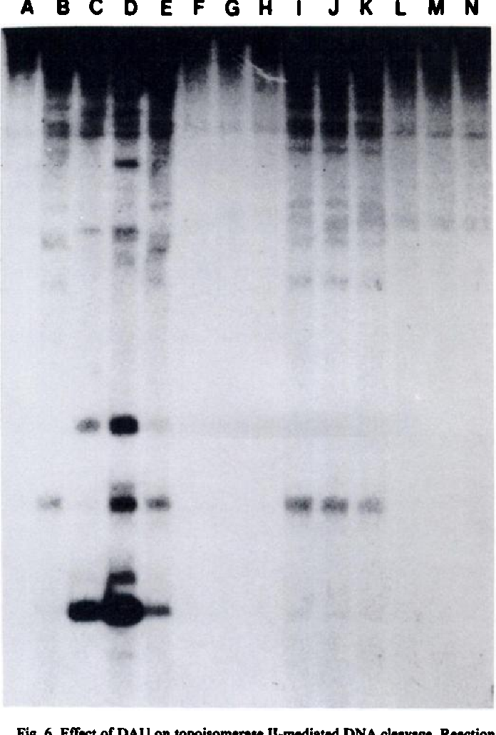 Fig. 6. Effect of DAU on topoisomerase II-mediated DNA cleavage. Reaction mixtures containing a