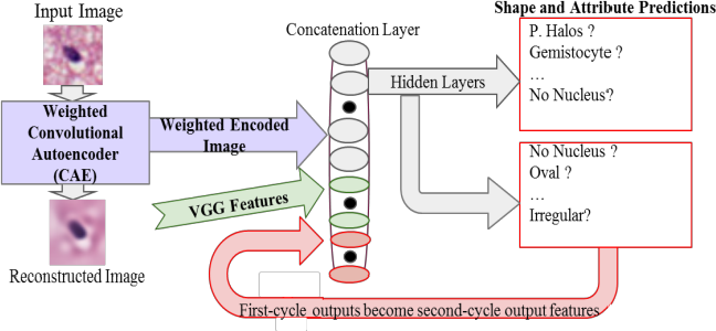 Figure 1 for Center-Focusing Multi-task CNN with Injected Features for Classification of Glioma Nuclear Images