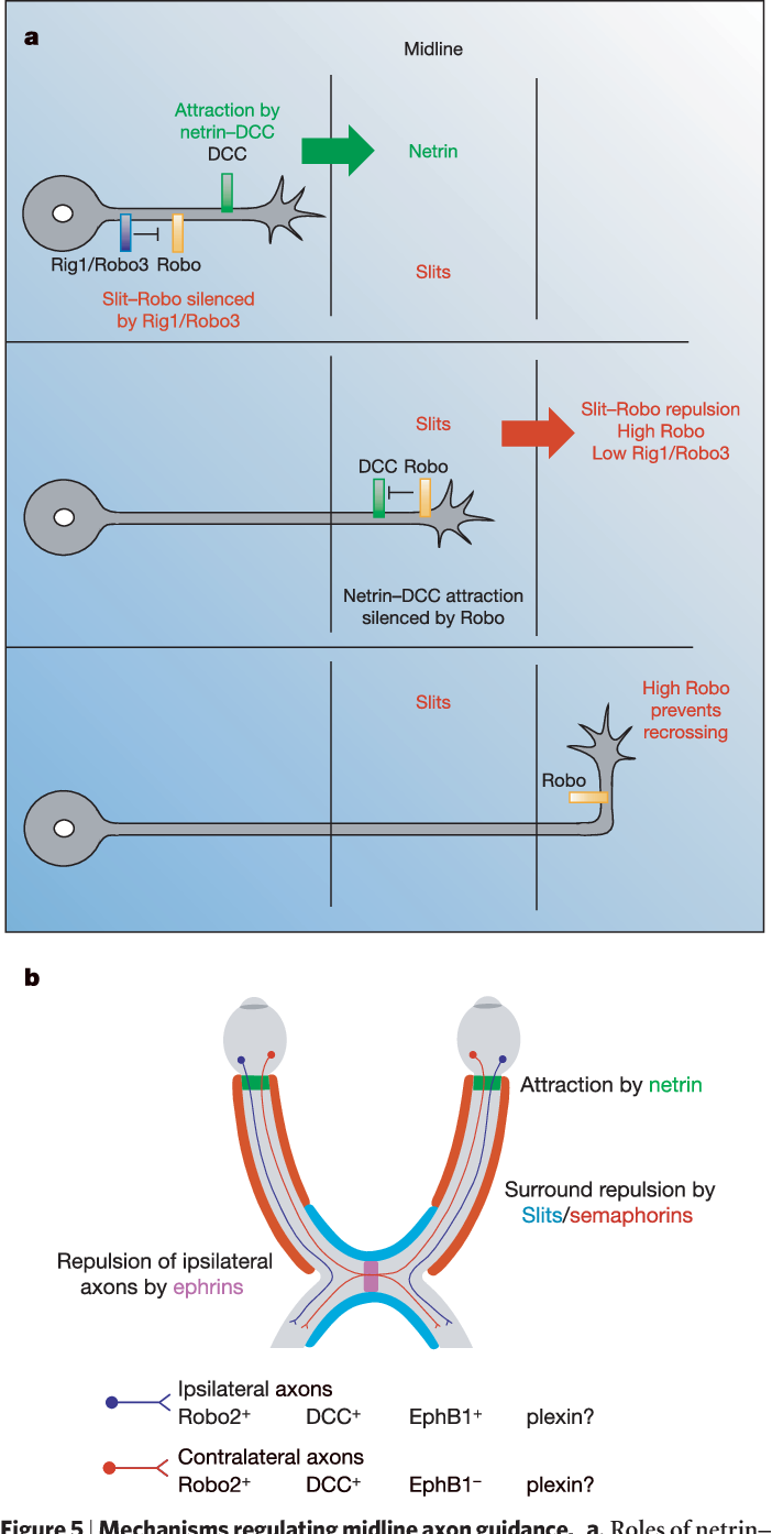 Common mechanisms of nerve and blood vessel wiring - Semantic Scholar
