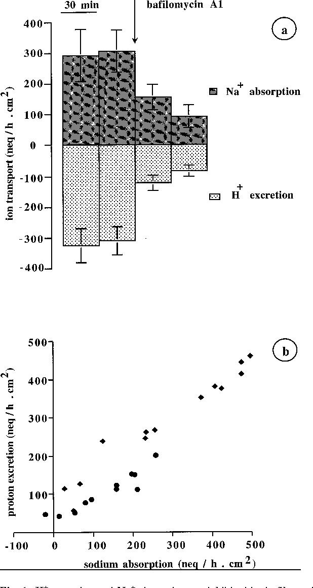 Figure 1 From The H Pump In Frog Skin Rana Esculenta