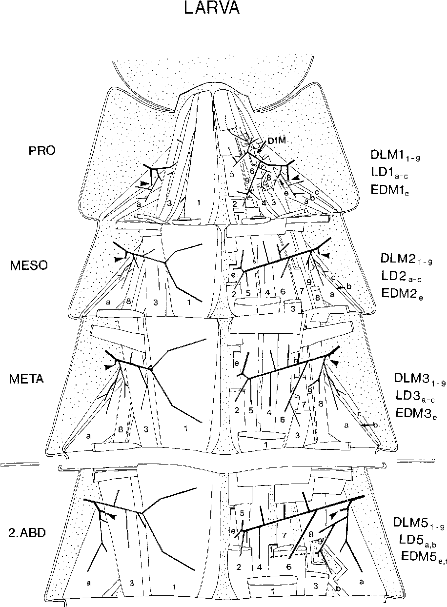 Comparative anatomy of muscle sets in larval and adult stages ...