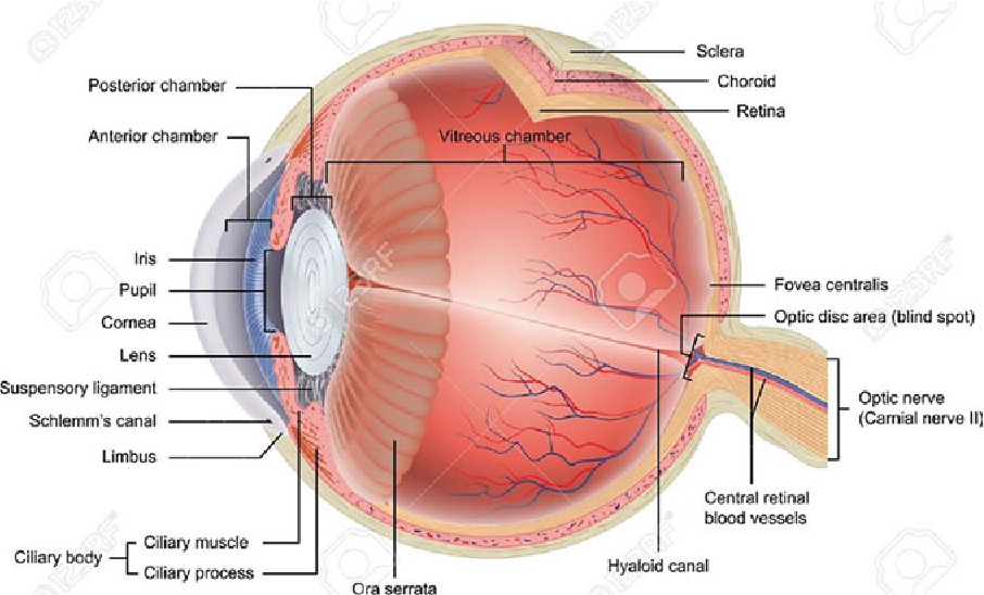 Chapter 2 Anatomy of the Eye and Common Diseases Affecting the Eye ...