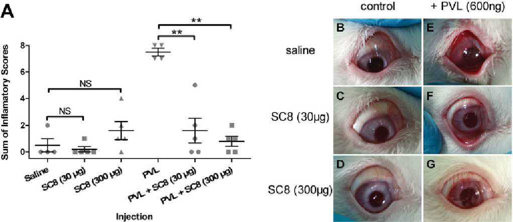 Figure 7 SC8 protection in vivo in a PVL-induced rabbit eye inflammation model