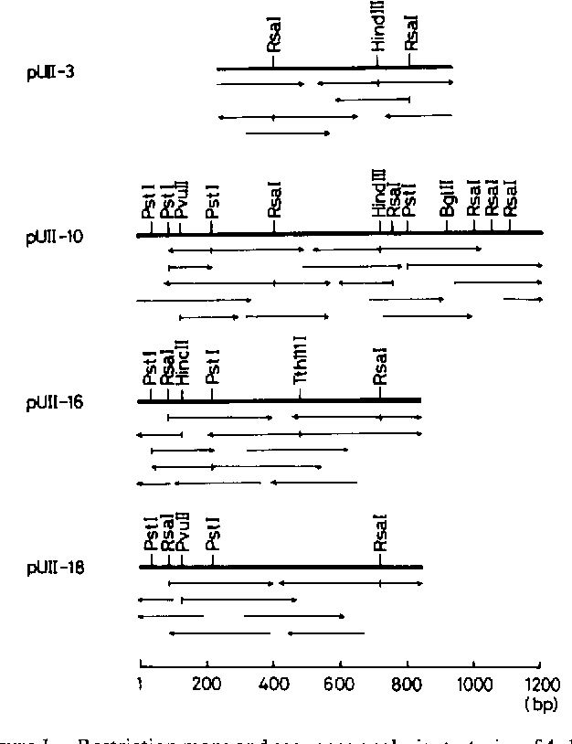 Figure I. Restriction maps and sequence analysis strategies of 4 clones of UII cDNAs. Two clones, pUII-16 and -18, encoded precursor of UII-a and the other two, pUII-3 and -10 UII--, precursor. Horizontal arrows indicate the direction and extent of sequence determination. bp, base pairs.