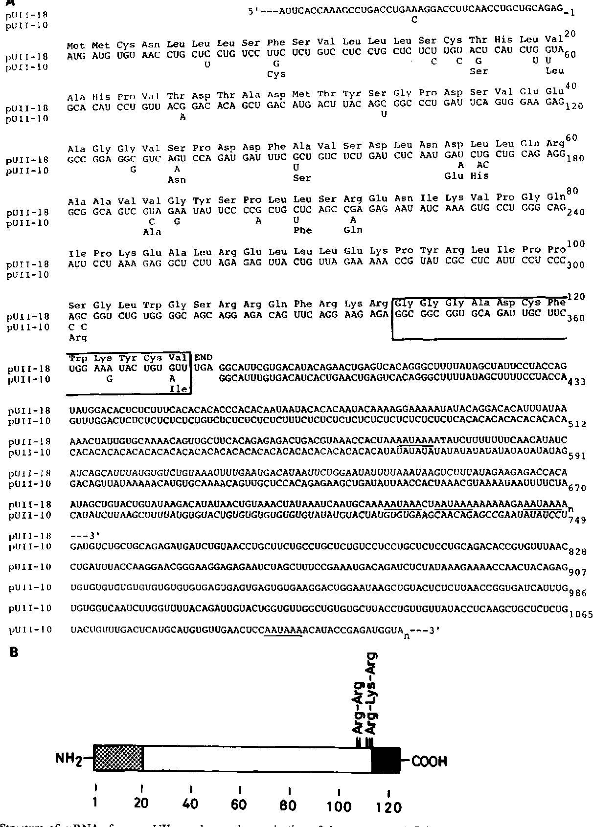 Figure 2.. Structure of mRNAs for carp UII-(Y and -y and organization of the precursor. A, Primary structure of mRNAs for UII-CY and -7. Nucleotide sequences of mRNAs are deduced from the sequences of cDNA inserts (pUII-18 for UII-CY and pUII-10 for UII-7). Nucleotide residues are numbered in the 5' to 3' direction starting with the first residue of the AUG triplet (methionine) as no. 1. The deduced amino acid residues are numbered beginning with the initiating methionine. UII sequences are boxed. Blank spaces in pUII-10 indicate the sequence identity with pUII- 18. AAUAAA sequences in the 3'-untranslated region are underlined. B, Schematic representation of the structure of the precursor of either UII-a or -7. UII sequence is indicated by a black box and the putative signal peptide is indicated by a stippled box. Proteolytic sites, Arg-Arg and Arg-Lys-Arg, are shown. Amino acid numbers are given at the bottom. Only 12 amino acid substitutions are observed between the precursors of UII-a and -7.