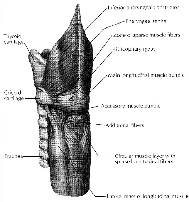 Current Concepts In The Anatomy And Origin Of Pharyngeal Diverticula