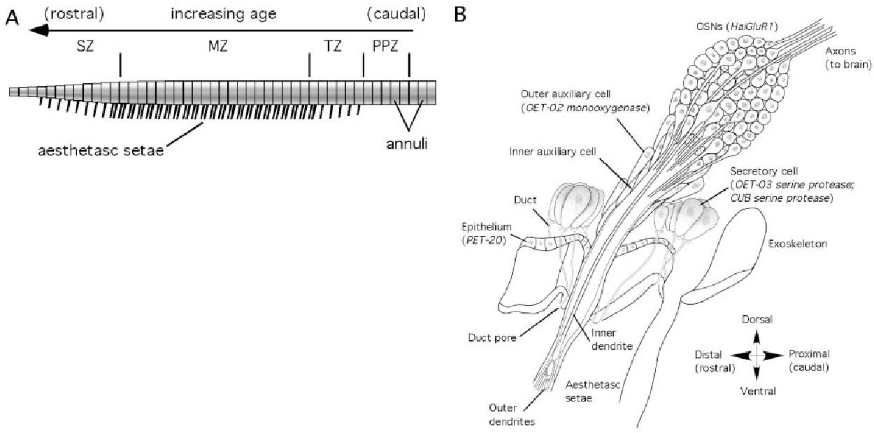 Figure 1 from Lobster olfactory genomics. - Semantic Scholar