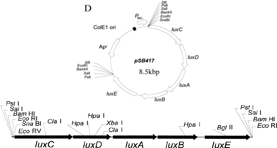 Figure 2.2: Plasmid map of pSB417 (Winson et al., 1998). The 8.5kbp plasmid comprises of the ampicillin resistance gene (Amp r ) and the lux cassette linked to the Plac promoter. The lux cassette can be excised by a number of different restriction enzymes.