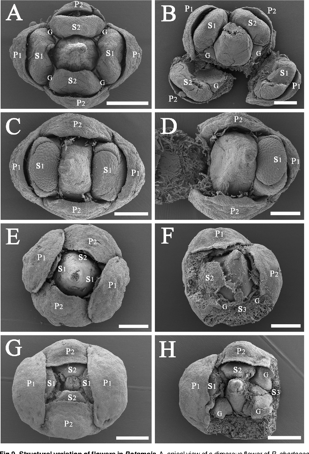 Fig 9. Structural variation of flowers in Potameia. A, apical view of a dimerous flower of P. chartacea, bar = 500 μm; B, lateral view of a dissected flower of P. chartacea displaying the glands and two-locular anthers, bar = 200 μm; C, apical view of a flower of P. micrantha displaying the one-locular anthers, bar = 200 μm; D, a dissected dimerous flower of P. micrantha lacking stamens and glands of the 3rd whorl, bar = 200 μm; E, apical view of P. microphylla displaying the included stamens and the exposed pistil, bar = 500 μm; F, lateral view of a flower of P. microphylla displaying the minute stamens and glands of the 3rd whorl, bar = 500 μm; G, apical view of a flower of P. sp., bar = 500 μm; H, lateral view of a dissected flower of P. sp. displaying the stamens and glands of the 3rd whorl, bar = 500 μm.