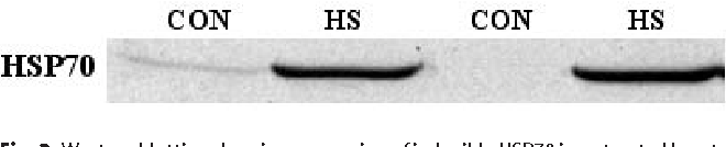 Fig. 2 Western blotting showing expression of inducible HSP70 in untreated hearts (CON) and hearts from preheated rats (HS)