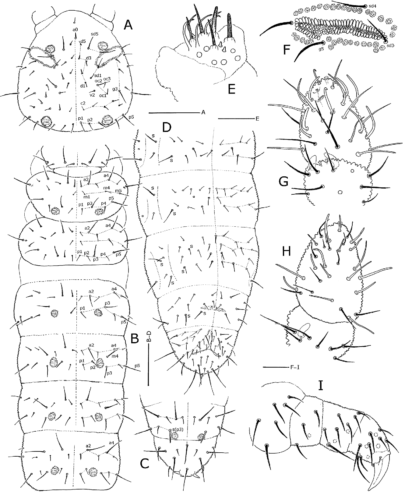figure 6 from two new genera and five new species of tullbergiidae F 5 in Combat two new genera and five new species of tullbergiidae collembola from the southern appalachian mountains of north america with redescription of tullbergia